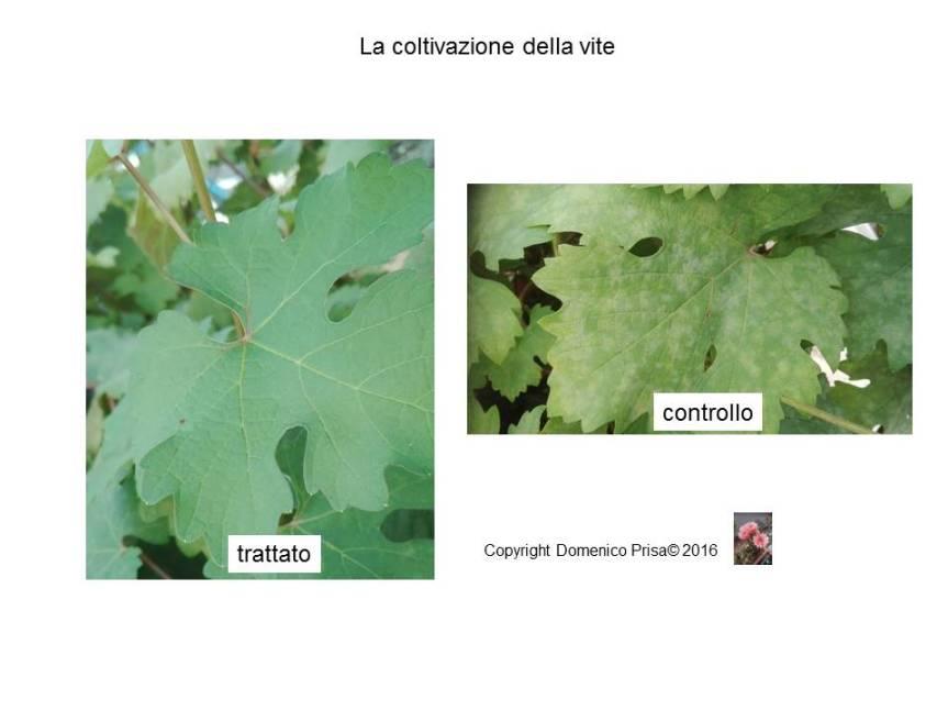 La coltivazione della vite senza chimica: metodi innovativi di difesa e coltivazione inbiologico