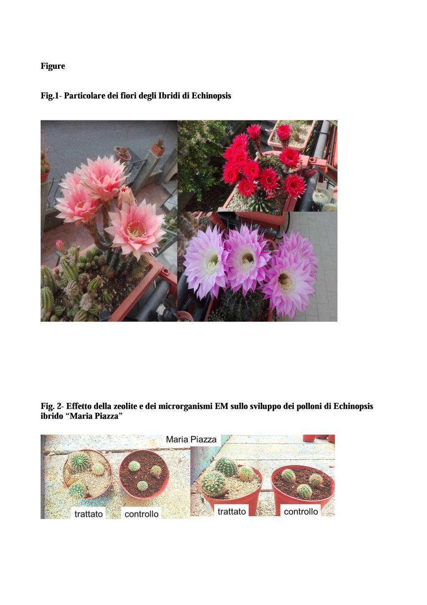 Microrganismi EM e zeolite a chabasite per la coltivazione di ibridi diEchinopsis
