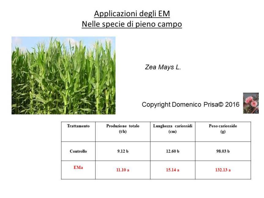 La coltivazione del mais e del frumento con tecnichebiologiche
