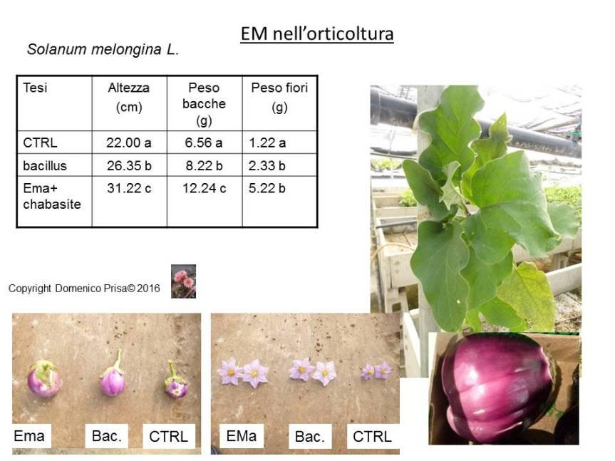 La coltivazione biologica della melanzana. Metodi innovativi per la produzionesostenibile.
