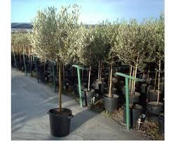 Substrati innovativi senza torba per la coltivazione e germinazione dell'olivo