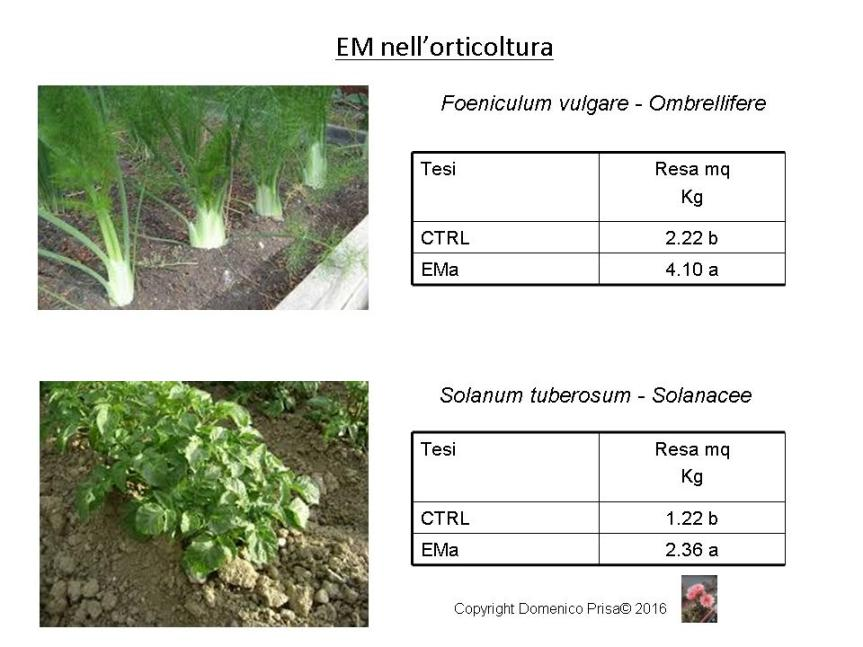 Come coltivare le ortive senza chimica di sintesi (finocchio, patata, cicoria episello)