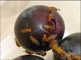 La difesa del ciliegio con metodi naturali Test effettuati su drosophylasuzukii