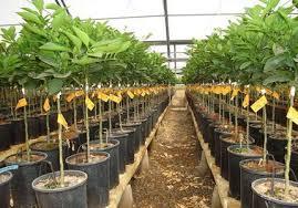 La coltivazione e difesa micronaturale degliagrumi