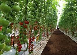 La difesa micronaturale del pomodoro e delpeperone