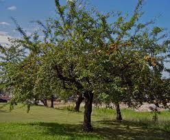La coltivazione e difesa MICRONATURALE   dell'albicocco