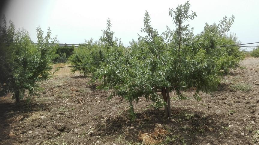 La coltivazione micronaturale delmandorlo