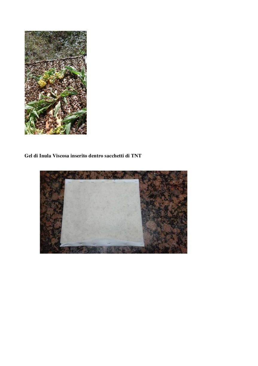 Inula-Viscosa_-controllo-della-mosca-dell'olivo-e-protezione-delle-api-da-varroa-007