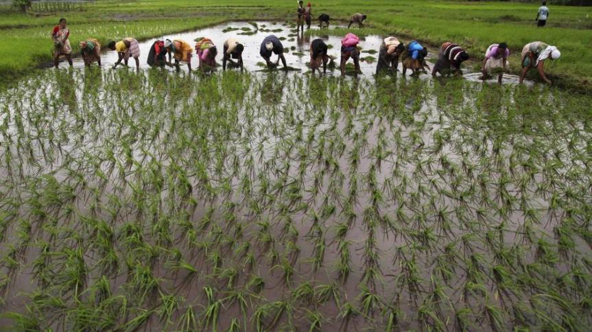 RISO MICRONATURALE®:Come coltivare il riso in modo innovativo e senza chimica disintesi.
