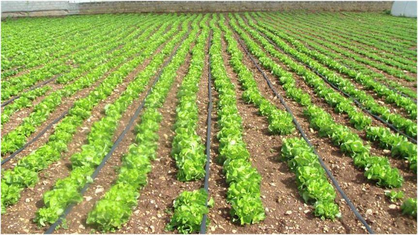 La coltivazione Micronaturale® dellalattuga