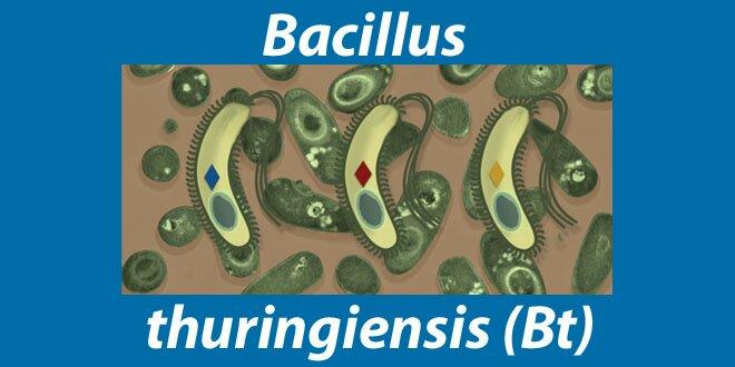 UTILIZZO DI BACILLUS THURINGENSIS INAGRICOLTURA