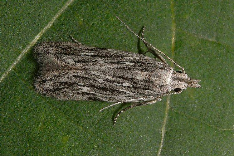 IL CONTROLLO DELL'ANARSIA (Anarsia lineatella) IN AGRICOLTURAMICRONATURALE