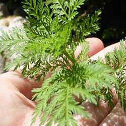 Uso di Artemisia annua infitoterapia
