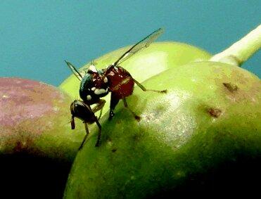Bactrocera oleae (mosca dell'olivo)e simbiosi batterica che puòcontrollarla