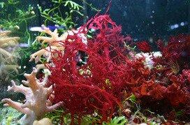 Uso di lithothamnium calcareum alga rossa dalle mille proprietà (gastrite e reflussoesofageo)