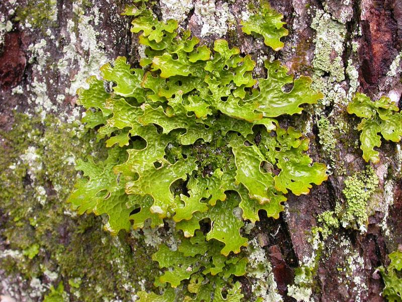 Utilizzo dei licheni come antibiotici eemollienti