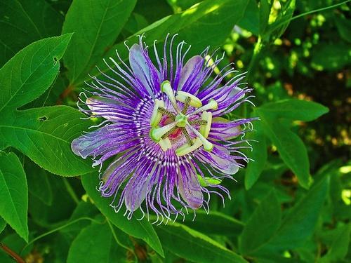 La passiflora nella cura dell'ansia