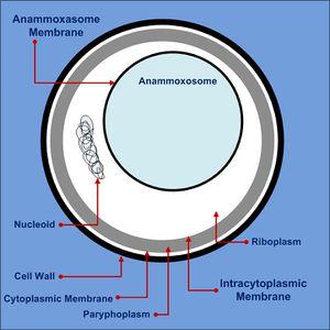 ANAMMOX (anoxic ammonia oxidation) che cosaè?