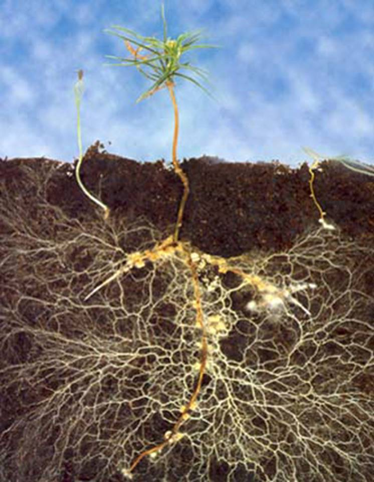 AGRICOLTURA MICRONATURALE: CHE COSA SONO LE MICORRIZE? PERCHÉ LE PIANTE HANNO BISOGNO DISIMBIOSI?