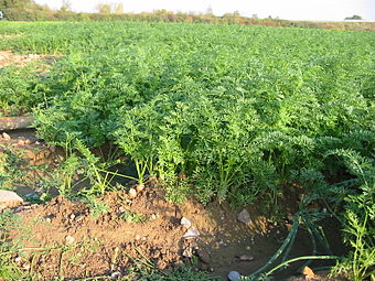 MICRONATURALE PER LA CAROTA: Coltivare e difendere la carota senza l'utilizzo di prodotti disintesi