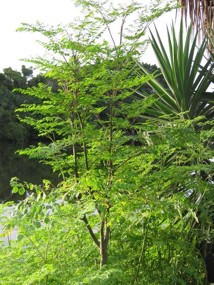 Micronaturale: la Moringa oleifera, potenzialmente una delle piante più importanti delpianeta