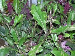 MICRONATURALE: Gynura bicolor o spinacio diOkinawa