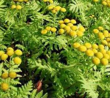 Micronaturale: Artemisia annua, erba magica, Qing hao, utilizzo ebenefici