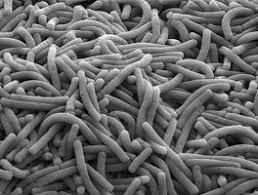 Micronaturale: la cura Delle ferite con i batteri dell'intestino Delleapi