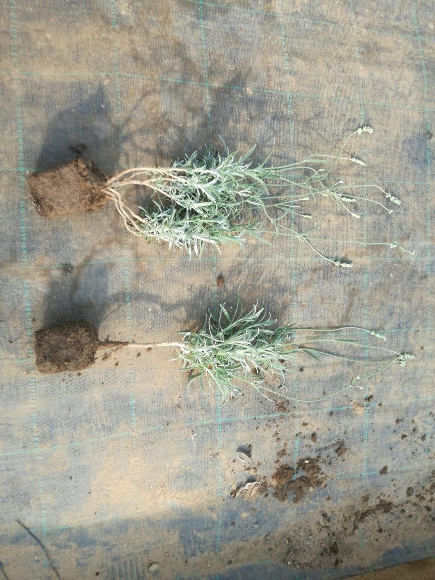 Micronaturale: Tecniche innovative senza chimica di sintesi per la coltivazione dilavanda