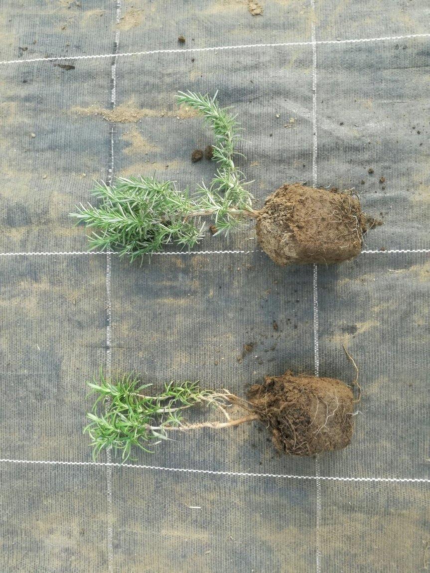 Micronaturale: coltivazione senza chimica di piante diRosmarino