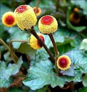 Micronaturale: Acmella oleracea, la pianta del mal didenti