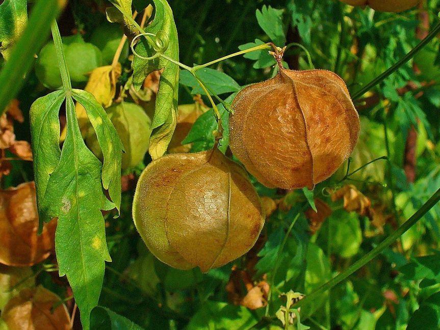 "Micronaturale: Cardiospermum helicacabum ""seme a cuore"" e le sueproprietà"