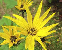 Micronaturale: helianthus tuberosus, il carciofo diGerusalemme
