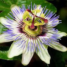 Micronaturale: Perché utilizzare lapassiflora?