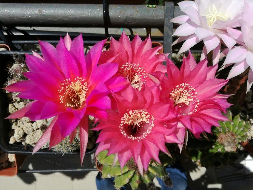 Micronaturale e Symbac per la coltivazione diechinopsis