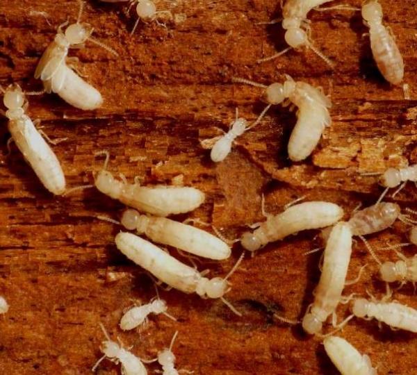 Micronaturale: il controllo Delle termiti con metodinaturali