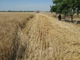 Micronaturale: Microrganismi Em per la biostimolazione di piante di grano addizionati alcompost.