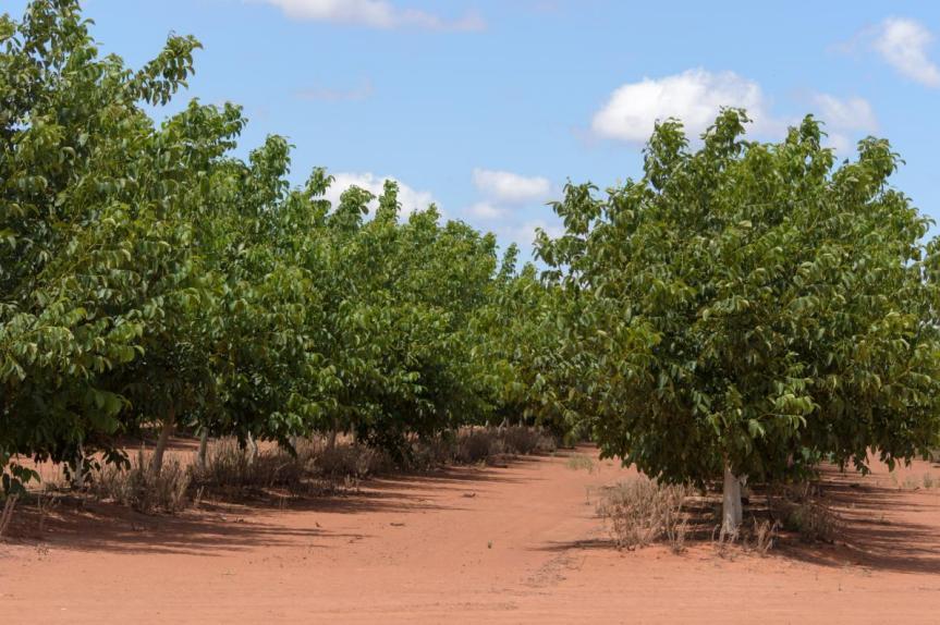 Micronaturale: la coltivazione e difesa del noce con metodialternativi