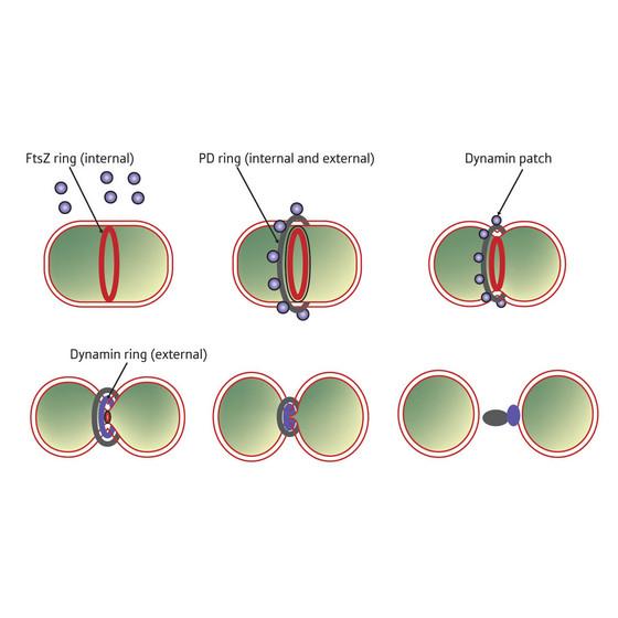 Micronaturale: le proteine fts e la divisionecellulare
