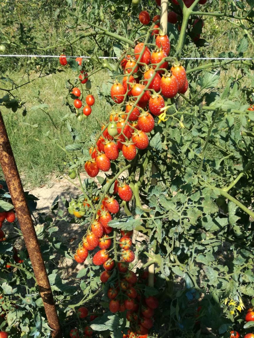 Micronaturale: coltivazione e difesa delpomodoro