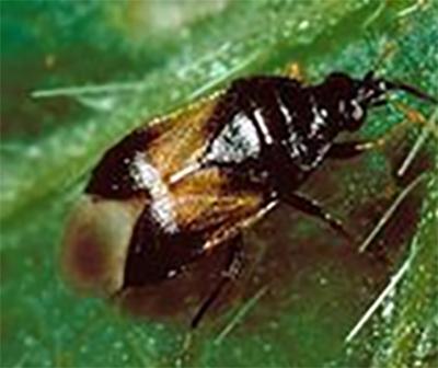 Micronaturale: lotta biologica con Oriusspp.