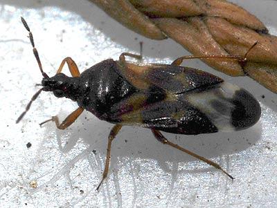 Micronaturale: il controllo degli afidi e delle Psille con Anthocorisnemorum