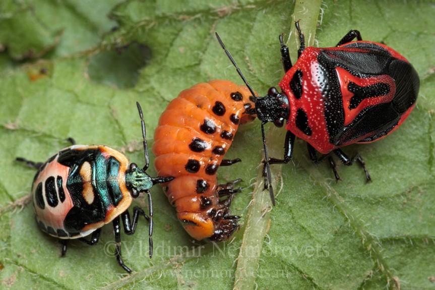 Micronaturale: Perillus bioculatus Fabricius contro le larve diDorifora