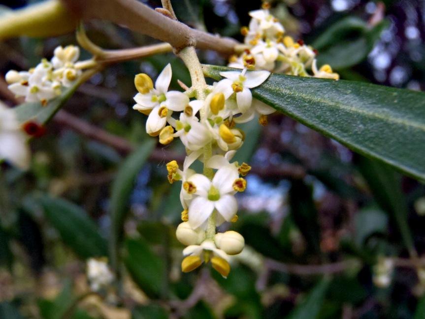 Micronaturale: L'impollinazione e fecondazione dell'olivo