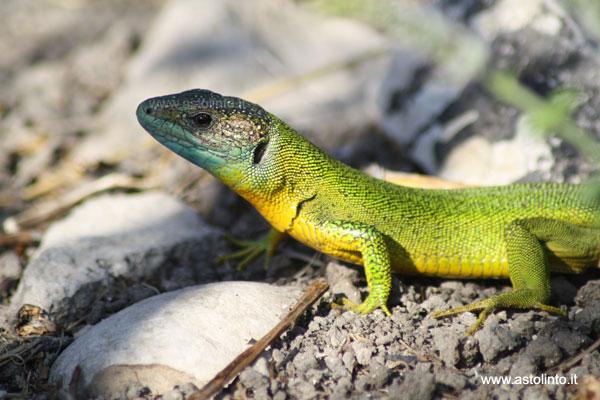 Micronaturale: il ruolo degli anfibi e dei rettili innatura