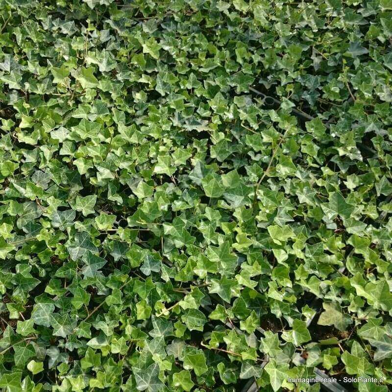 La coltivazione MICRONATURALE dell'Edera