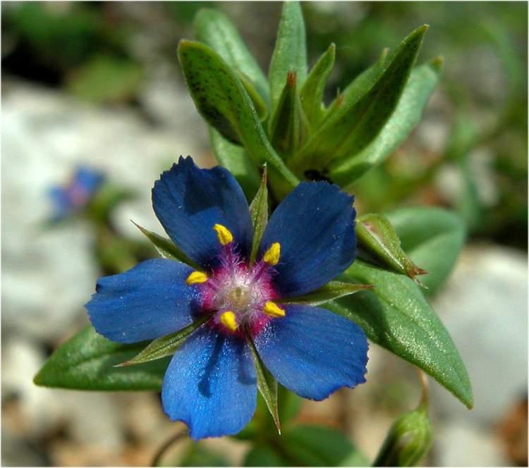 La coltivazione MICRONATURALE di Anagallislinifolia