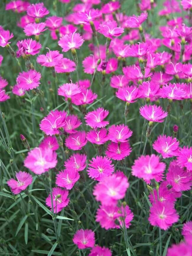 La coltivazione MICRONATURALE di Dianthuschinensis