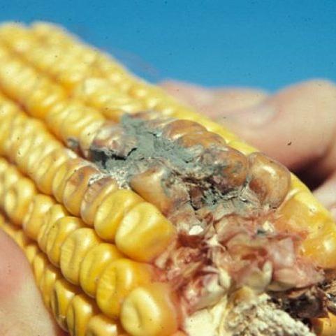 Micronaturale: utilizzo Delle zeolititi e agenti per il controllo di afla emicotossine