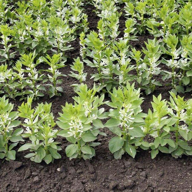 La coltivazione MICRONATURALE della Fava (Vicia fabaL.)